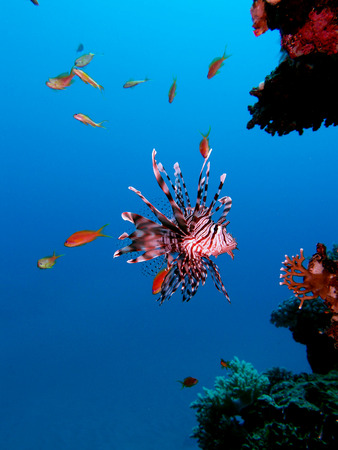 Lionfish (pterois miles) in clear water Stock Photo - 33528666