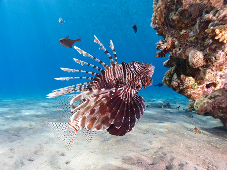 Lionfish (pterois miles) hovers in clear blue water