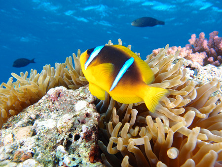 A single Red Sea anemonefish in an anemone Stock Photo
