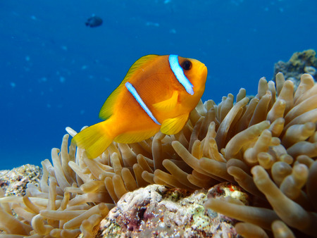 A single anemonefish in a sea anemone Stock Photo - 33528955