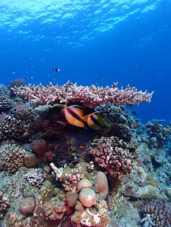 Two Red Sea bannerfish rest under a table coral. Standard-Bild