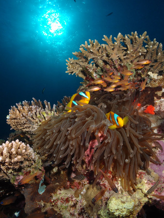 Red Sea anemone and anemonefish, with the sun.