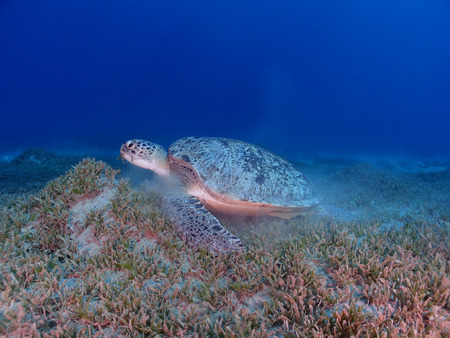 A green sea turtle (chelonia mydas) feeds on sea grass in the Red Sea.