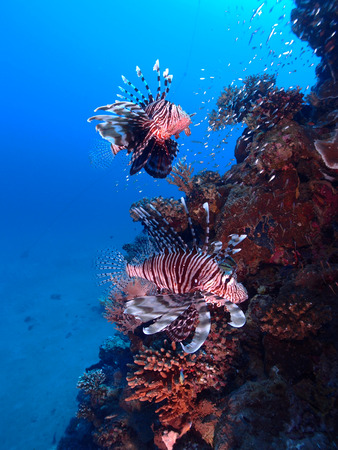 Two lionfish (pterois miles) hover beside the reef. Stock Photo
