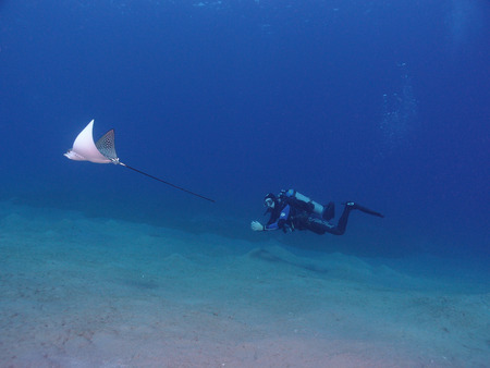 narinari: A scuba diver swims beside a spotted eagle ray (aetobatis narinari.)