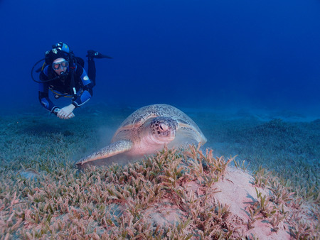 chelonia: A scuba diver watches a green turtle (chelonia mydas) in the Red Sea Stock Photo