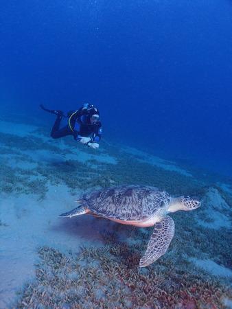 A scuba diver swims beside a green sea turtle (chelonia mydas) Stock Photo