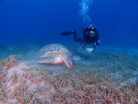 A feeding green sea turtle (chelonia mydas) is watched by a scuba diver