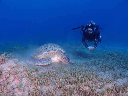 A feeding green sea turtle (chelonia mydas) is watched by a scuba diver Stock Photo - 34392852