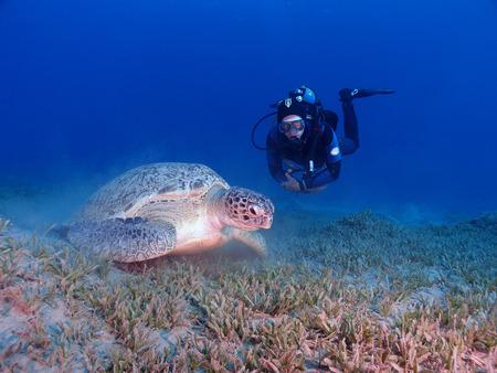 chelonia: Scuba diver and green sea turtle (chelonia mydas)