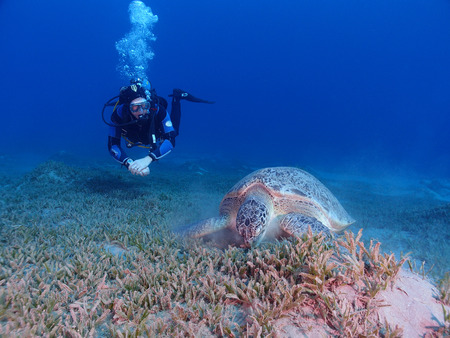 chelonia: A feeding green sea turtle (chelonia mydas) is watched by a scuba diver