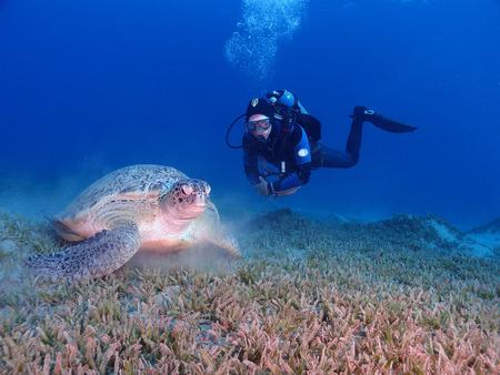 A green sea turtle (chelonia mydas) and scuba diver in the Red Sea Standard-Bild