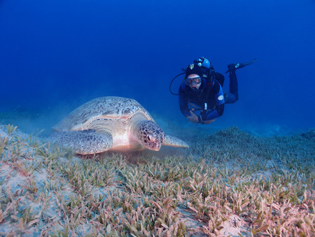 A scuba diver hovers beside a feeding green sea turtle (chelonia mydas)