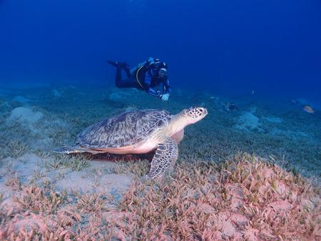 chelonia: A scuba diver swims beside a green sea turtle (chelonia mydas) Stock Photo