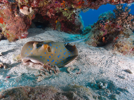 A bluespotted stingray rest underneath corals Stock Photo