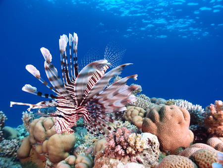 A lionfish hovers above the coral reef Stock Photo