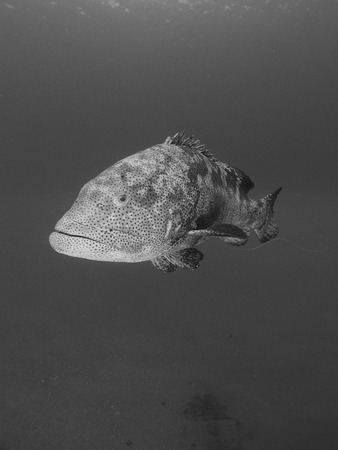 A black and white portrait of a malabar grouper