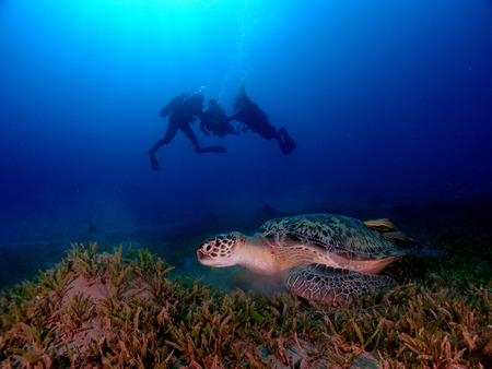 A turtle with divers silhouetted in the backgound