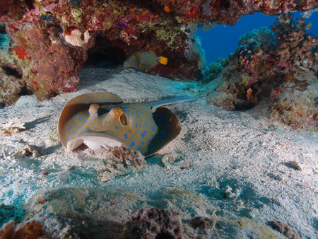 A bluespotted stingray rests on the sand