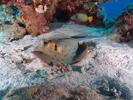 Bluespotted stingray in the Red Sea Stock Photo