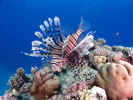red animal: A lionfish hovers above the coral reef Stock Photo