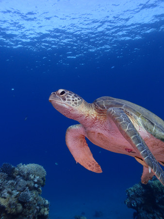 chelonia: A close-up shot of a green sea turtle