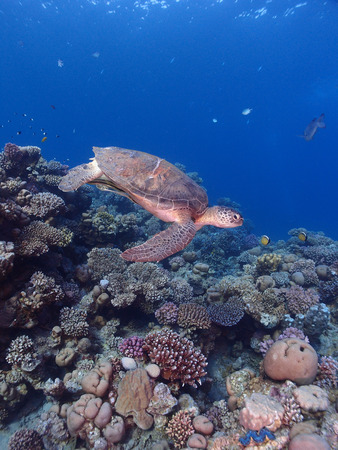 A green sea turtle swims above a coral reef