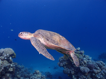 A sea turtle swims in mid-water Stock Photo