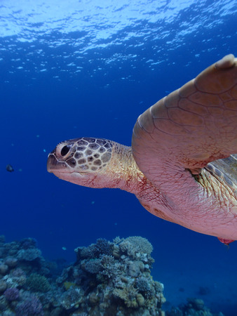 Close-up of a green sea turtle