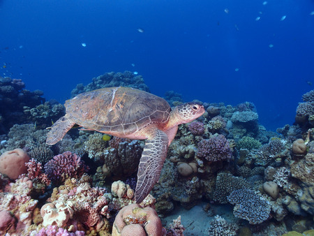 A green sea turtle swims above a coral reef Stock Photo - 35804554