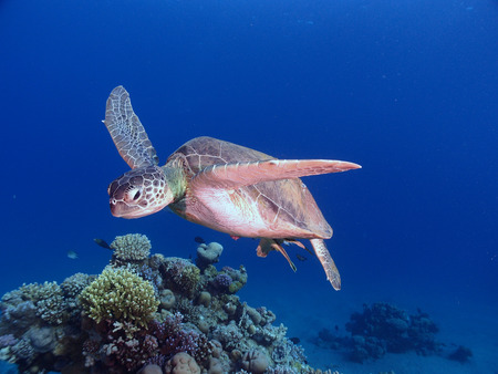 A green sea turtle swims towards the camera