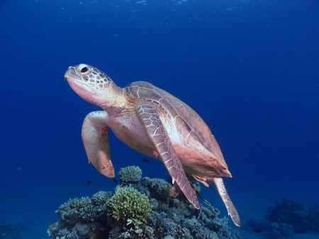 A green sea turtle swims towards the camera
