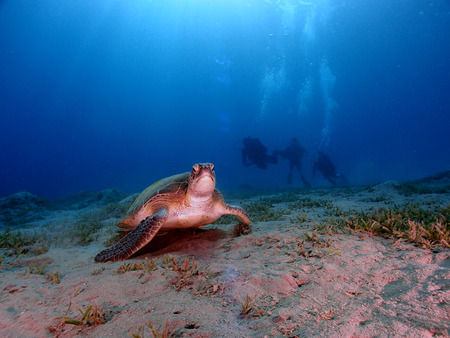 A green sea turtle (chelonia mydas) with  scuba divers in the background Stock Photo