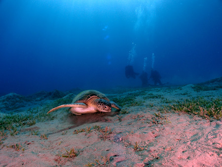 A green sea turtle (chelonia mydas) with divers in the background