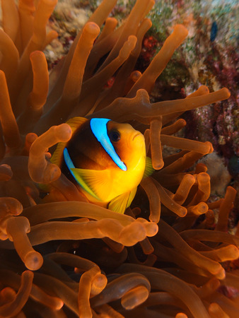 Red colored anemone and anemonefish Stock Photo