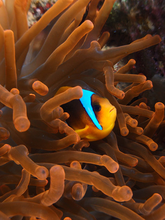 Anemonefish in a red anemone
