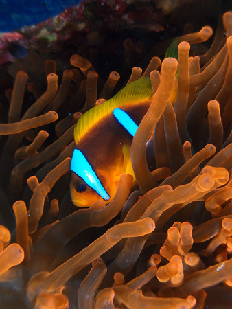 Red anemone with clownfish