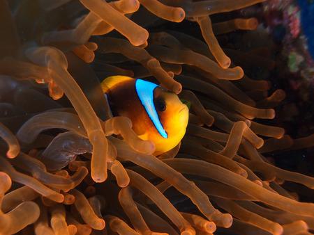 Red anemone and anemonefish Stock Photo - 35805962
