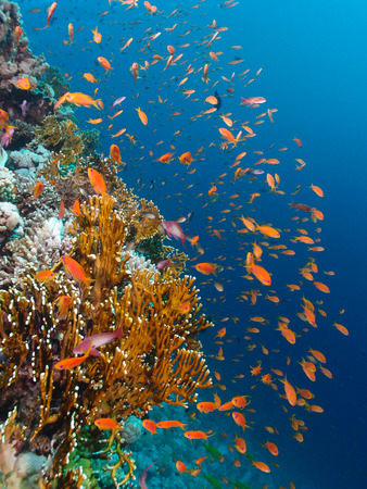 Vibrant coral reef in the Red Sea