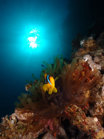 Red Sea anemone and anemonefish, with the sun in the backgound.