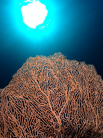 A gorgonian sea fan with the sun in the background.