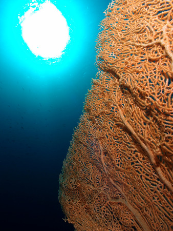 gorgonian sea fan: A gorgonian sea fan with the sun in the background.