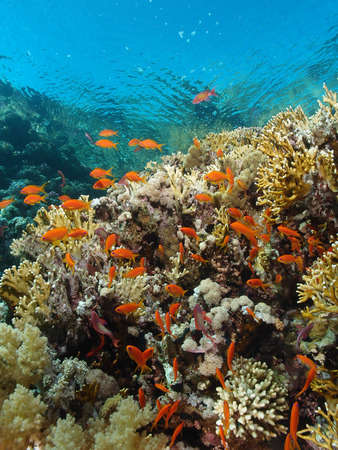 Corals and fish just below the surface in the Red Sea