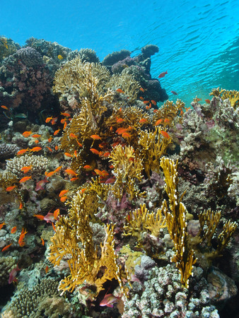 Shallow water corals and fish in the Red Sea