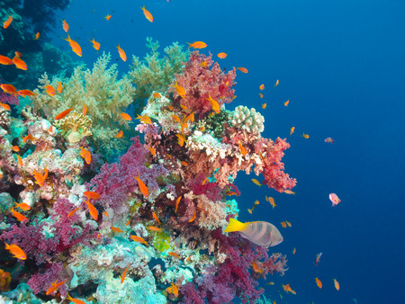 Cororful coral reef in the Red Sea. Stock Photo