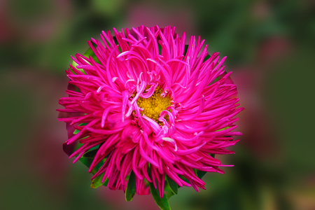Red Astra meets the dawn in the city park. Aster flower on an isolated background