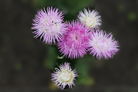 The great-sky quartet of purple asters sings a sweet summer song. Purple asters on an isolated background