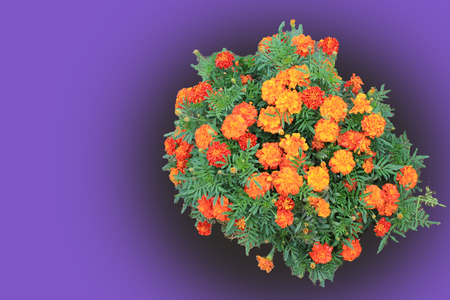 bright orange carnations on a soft purple background