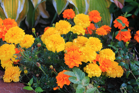 bright orange Carnations greeted us with a cheerful smile Reklamní fotografie