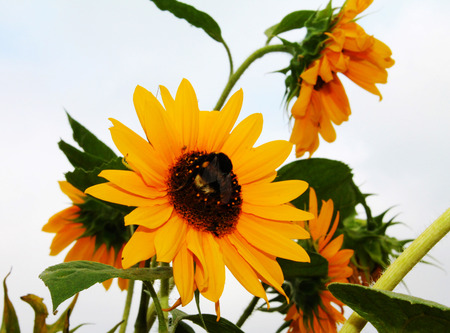 A big bumblebee collects nectar on a gorgeous sunflower.